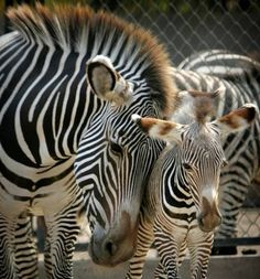Beautiful photo of Mom and Baby Zebra.
