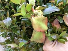 Camellias are relatively unfussy and problem-free shrubs, but they can develop camellia leaf gall, a unique and odd-looking disease. Here's how to identify and treat it.