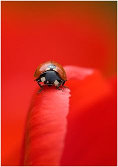 Red Petal and Ladybird by Sergkuran