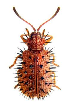 spiny leaf beetle son is a prickly little fellow, but he means well Mais