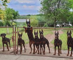 The Doberman Pinscher is among the most popular breed of dogs in the world. Known for its intelligence and loyalty, the Pinscher is both a police- favorite bree Black Doberman, Doberman Love, Doberman Puppies, Doberman Pinscher, Big Dogs, Dogs And Puppies, Doggies, Fauna, Service Dogs