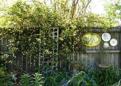 yellow lady banks rose & fence decoration