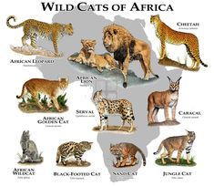 Animals And Pets, Baby Animals, Cute Animals, Types Of Wild Cats, Felis Margarita, African Cats, African Leopard, African Wild Cat, Black Footed Cat
