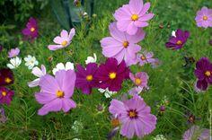 """Fleur cosmos cosmos - pour mon petit coin """"à semer"""""""
