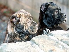 Next on the hubby's list Cane Corso Puppies Italian Cane Corso, Cane Corso Italian Mastiff, Cane Corso Mastiff, Corso Dog, Big Dogs, I Love Dogs, Cute Dogs, Dogs And Puppies, Cane Corso Breeders