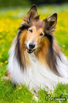 Our #collie, 10 years old