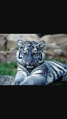 The rare Maltese Tiger is a beautiful and mysterious animal <3