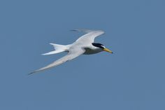 Little tern by Mubi.A
