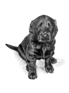 Flat Coated Retriever Puppy ~ A  hand drawn pencil sketch by artist Genevieve Schlueter. To have a portrait done of your pet visit http://www.gensart.net. Too busy? PIN NOW VIEW LATER!