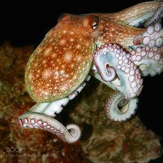 underwater octopus by MaximSivyi #nature #photooftheday #amazing #picoftheday #sea #underwater