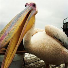 Pelican! All Gods Creatures, Big Bird, Phobias, Beautiful Birds, Beautiful Creatures, Animal Photography, Owls, Flamingo, Cute Animals