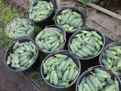 secrete recolte castraveti Good To Know, Cucumber, Home And Garden, Vegetables, Gardening, Garden, Agriculture, Vegetable Gardening, Pictures