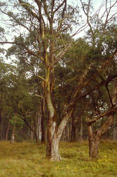 Eucalyptus stellulata - Black Sally Gum                    Growth Rate: Rapid   Height after 5 years: 6 m   Height when mature: 11 mMulti-branched medium tree with dense canopy. Suits wide range of sites. Excellent shelter on dry plains sites. Great firewood. White flowers from April-October. Evergreen. Frost hardy.