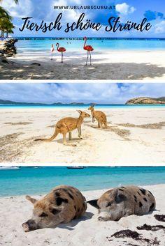 Ich zeige euch die schönsten Strände mit Tieren. Strand, Kangaroo, Camel, Animals, Cutest Animals, Viajes, Nice Asses, Baby Bjorn, Animales