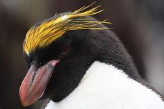 Say hello to the elegant Macaroni Penguin. #birds #birdwatching #travel #cute #beautiful #wow #animals #wildlife #southafrica #capetown #penguin #ocean