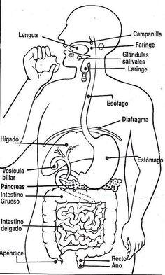 Las 15 Mejores Imágenes De Anatomía Aparato Digestivo