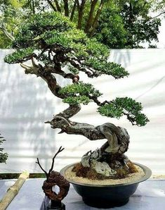 Bonsai is generally a tree or plant that has actually been kept smaller sized than its typical size. The technique to making a bonsai plant is to frequently prune the tree every spring Bonsai Tree Types, Indoor Bonsai Tree, Mini Bonsai, Bonsai Plants, Bonsai Garden, Bonsai Trees, Mini Plants, Indoor Plants, Compost