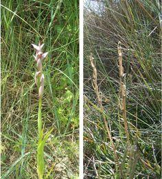 Habían muchos pies de orquídeas secos (derecha)  y creo que son de las  serapias de flor pequeña (Serapias parviflora) que florecen entre marzo y mayo (izquierda)