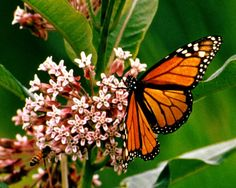 Butterflies | ... day flying insects of the order lepidoptera the butterflies and moths