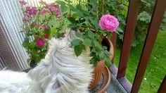 Balkon Pełen Róż: Róże historyczne - róże stare