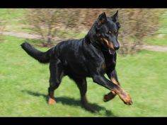 Beauceron Dog Show 2016 WKC Westminster Kennel Club