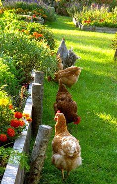 Chickens in the garden