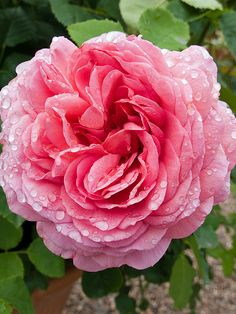 'Princess Alexandra of Kent' | Shrub.  English Rose Collection. Austin,2002  | Flickr - © Osakana Feelingood®