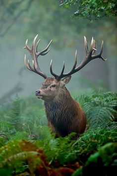 Highland Red Stag