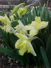 Narcissus 'Cassata' - Plant Finder