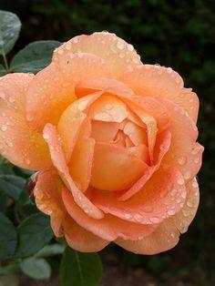Lady Of Shalott Rose, Sprinkled with Morning Rain,,,,,,