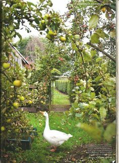 Gorgeous!! This is part of my dream farm - to have an orchard and a place where all my chooks and geese can run around freely.