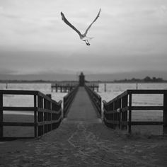 A seagull in flight on the Red Lighthouse Pier © Latunova Nadia
