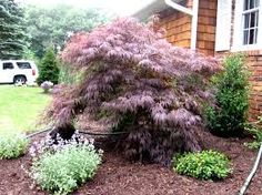 Image result for weeping japanese maple