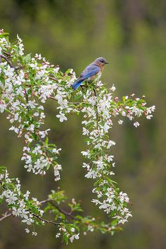 Eastern Bluebird posing in a flowering Crabapple tree in a park near my home in New Milford CT.