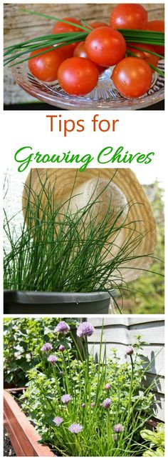 Growing chives is easy. They can be grown in the ground or in pots and containers. See my tips for growing this essential kitchen herb.#growingchives #herbgarden #kitchenherbs