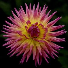 Dahlia Karma Sangria I'm thinking these should be the two main colors in my new yard - AS