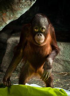 Baby orangutan. Arlington Photography.