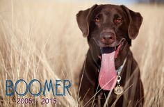 We love you, Boomer! Pet Portraits, Animal Photography, Animal Pictures, Your Pet, Labrador Retriever, Cute Animals, Puppies, Pets, Artist