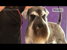Grooming Guide - Miniature Schnauzer Pet Trim - Pro Groomer - YouTube