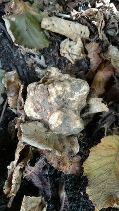 White truffle il come back....  Find it in Italy