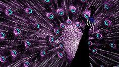 i love purple peacocks