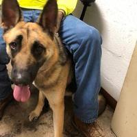 Austin Animal Center In Austin Texas German Shepherd Dogs Pet