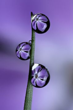Periwinkle dewdrop refraction by Lord V, via Flickr