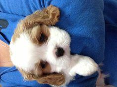 Snuggles. Cavalier King Charles Spaniels