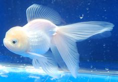 Gorgeous white oranda goldfish