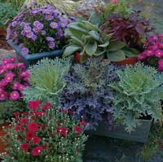 Fall container plants.  Wirevine, White Clover, Creeping Jenny, Sage, Lambs Ear's, Calibrachoa, also Sedum, decorative cabbages and kale, Oxalis, Verbena, Coral bells also known as heuchera, and Mums.  =)