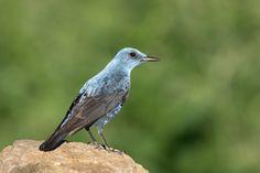 blue rock thrush Melro-azul (Macho)