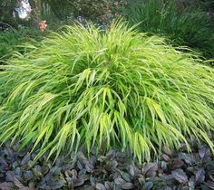 Aureola Japanese Forest Grass Hakonechloa macra 'Aureola' 'Aureola' is a golden-striped form of Hakone grass. It is a rhizomatous, deciduous perennial grass that typically grows in dense spreading clu
