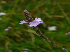 Vervain medicinal herb is an excellent herbal remedy for most ailments and one of God's most powerful plants for the healing of diseases.