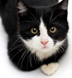 Tuxedo Kitten by Josh Norem on 500px